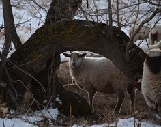 "Ranching With Sheep ~The Rubbing Tree ~ Photo by Arlette Seib at Dog Tale Ranch in Saskatchewan, Canada, who wrote ""A tree perfect for sheep to rub their backs upon""."