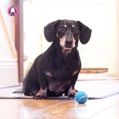 Lets play fetch hooman! Pet Boutique, Mini Dachshund, Cute, Weiner Dogs, Animals, Ears, Sausage, Play, Products