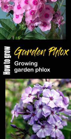 How to grow Garden Phlox | Phlox care | Propagation garden phlox Phlox Plant, Phlox Perennial, Perennials, Phlox Flowers, Planting Flowers, Night Blooming Flowers, Creeping Phlox, Rosemary Plant, Tall Phlox