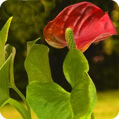 Anthurium is one of the easiest plants to grow indoors.....and so colorful.