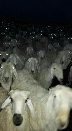 Running Into a Herd Of Sheep At Night Could Be Quite Terrifying - World's largest collection of cat memes and other animals Animals And Pets, Funny Animals, Cute Animals, Creepy Animals, Wild Animals, Animal Pictures, Funny Pictures, Funny Family Photos, Satanic Rituals