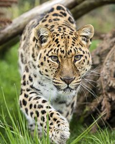Photograph Amur Leopard by Colin Langford on List Of Animals, Animals And Pets, Jaguar Leopard, Panthera Pardus, River Island Girls, Animal Species, Endangered Species, Animal Projects, Warrior Cats