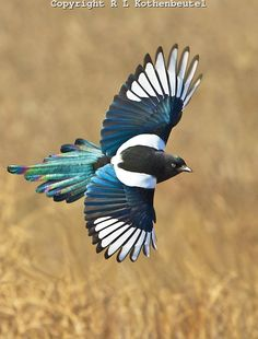 Black-billed magpie in flight displaying the iridescence of its plumage.<br /> Near Winthrop, Washington State<br /> 11/10/2012
