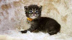 Kelly-3W #mainecoon #katzenbaby #kitten