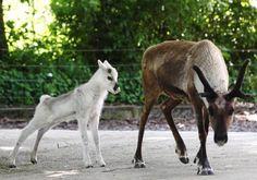 Baby Reindeer | Cutest Paw