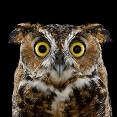 Gorgeous portraits of owls   Pic   Gear