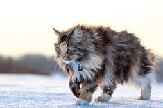 this is not a wild cat, but a beautiful Maine Coon www.mainecoonguid… this is not a wild cat, but a beautiful Maine Coon www. Warrior Cats, Gatos Maine Coon, Maine Coon Kittens, Cute Kittens, Cats And Kittens, Tabby Cats, Bengal Cats, Ragdoll Kittens, Cats Bus