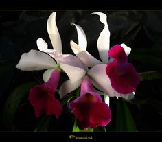 """Types of Rare Exotic Flowers   Here is the orchid """"Panamint"""" which was another gift given to me."""