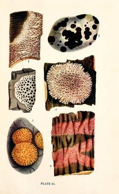 Scientific Illustration | Lichen From: 'British fungi with a chapter on...