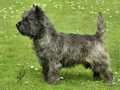 Carin Terrier - saw one today and love it!