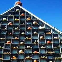 The Wall of Squash at The Great Pumpkin Patch in Arthur Illinois. So many kinds of squash that I had no idea existed until I started going there.  #fall #september #pumpkinpatch #nature #travel #illinois