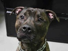 Brooklyn Center MAJOR – A1038491 MALE, BL BRINDLE, PIT BULL MIX, 2 yrs STRAY – STRAY WAIT, NO HOLD Reason OWN ARREST Intake condition EXAM REQ Intake Date 06/02/2015