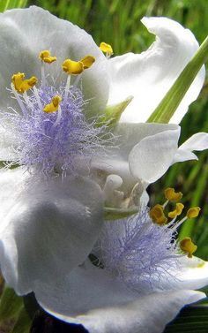Albino Spiderwort Flower- Tradescantia, the Spiderworts, is a genus of an estimated 71 species of perennial plants in the family Commelinaceae, native to the New World from southern Canada south to northern Argentina