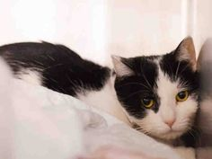 TO BE DESTROYED 2/17/15 *NYC* CUTE LITTLE COW KITTY! * Manhattan Center * Phoebe was cautious but allows all touch and remains immobile. She relaxes a little after a little while. Please foster, adopt or pledge to save this adorable little girl tonight!! * My name is PHOEBE. My Animal ID # is A1027844. I am a female black and white domestic sh mix. I am about 1 YEAR 6 MONTHS old. OWNER SUR on 02/12/2015 from NY 10463, TOO MANY P.