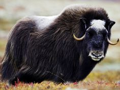 Musk Ox Musk Ox, Large Animals, Wild Animals, Animal Totems, Beautiful Birds, Cattle, Mammals, Norway, Cute Pictures