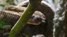 Milk Snake, Animals, Animales, Animaux, Animal, Animais