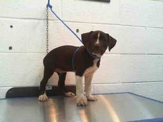 ARIA (A1669419) I am a female black and white Pit Bull Terrier mix. The shelter staff think I am about 13 weeks old. I was found as a stray and I may be available for adoption on 12/30/2014. Miami Dade https://www.facebook.com/urgentdogsofmiami/photos/pb.191859757515102.-2207520000.1419880478./899044343463303/?type=3&theater