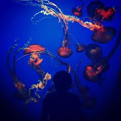 Fun fact: I absolutely 💛 viewing the colors and slow movements of the jellyfish at the aquarium! I have no desire to swim with them but I could stand there all day watching them. 👀  #monterey#california#montereybay#montereybayaquarium#canneryrow#aquarium#sealife#ocean#sea#fish#water#jellyfish#jellies#colorful#vibrant#blue#orange#pretty#beautiful#serene#myfav#roadtrip#vacation#canoncamera#canon #montereybaylocals - posted by KG 🇺🇸📷🙌🏼👫🐾☕️ https://www.instagram.com/katography101 - See…