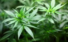 Marijuana and Alzheimer's – How Marijuana Outperforms Drugs for Alzheimer's Disease.  To read more on this, go to:  http://www.naturesalternativepdx.com/marijuana-and-alzheimers/