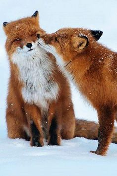 Post with 2030 votes and 88992 views. Tagged with cute, animals, beautiful, red fox; Cute Creatures, Beautiful Creatures, Animals Beautiful, Beautiful Beautiful, Beautiful Pictures, Nature Animals, Animals And Pets, Wild Animals, Cute Baby Animals