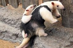 """Northern Tamandua - A smallish creature that can grow up to 50 inches long including its tail, the Northern Tamandua has off-white to pale yellow fur with a contrasting """"sweater vest"""" patch of deep black – it's the Mister Rogers of anteaters! Interesting Animals, Unusual Animals, Animals Beautiful, Strange Animals, All About Animals, Animals And Pets, Cute Animals, Giant Anteater, Woodland Animals"""