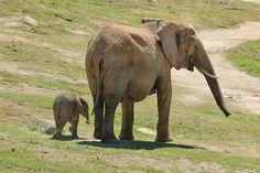 Wild Animal Park, annesi ile Afrika Fil 1 haftalık bebek