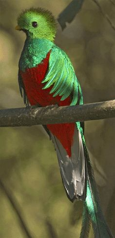 Quetzal   ...........click here to find out more     http://googydog.com