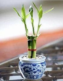 How to Propagate Lucky Bamboo