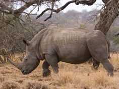 White Rhinoceros - Urgent action needed as poaching of South Africa's rhinos hits record high