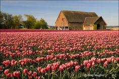 tulip field washington