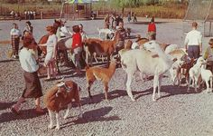 Dated: Probably 1960s Pub by Marks & Fuller, Inc., Rochester 4, N. Y. Made by: Dexter, West Nyack, N. Y. Number: 41671-B Text on back: >b>Lollypop Farm is kindness in action. The Humane Society. Cat and Dog Shelter of Rochester, N. Y., on Route 15, two miles north of N. Y. Thruway Exit 46, also maintains a several acre farm where friendly llamas, reindeer, pygmy burros, Angora goats, ponies, elk, deer, calves, sheep, ducks, geese and other feathered birds and four footed animals wander…