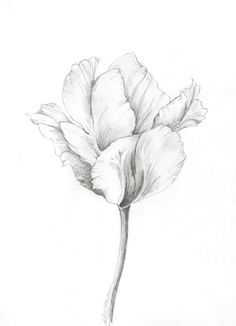 Artist tulip - Lauren Chisholm Fine Art Abstract Pencil Drawings, Pencil Drawings Of Flowers, Flower Sketches, Graphite Drawings, Art Drawings Sketches, Realistic Flower Drawing, Flower Art Drawing, Floral Drawing, Plant Drawing