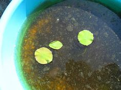 My first experience with growing Lotus. I've heard negative and positives about growing Lotus from Seeds but i decided to try anyway. Lotus Flower Seeds, Lotus Plant, Palak Paneer, Bird Feeders, Ethnic Recipes, Flowers, Plants, Food, Gardening