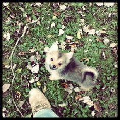 Malibu! Pomeranian puppy!! Teacup Puppies, Pomeranian Puppy, Pomeranians, Fox, Bear, Animals, Animales, Animaux, Pomeranian