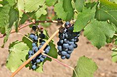 Wineries in Healdsburg, CA