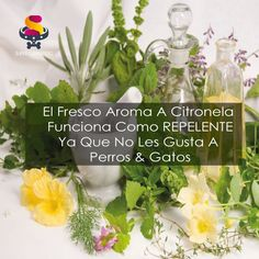 Foto: #Citronela & #Limón la combinación perfecta no solo para desodorizar, también repele moscas, mosquitos y más!!! producto disponible en +Linio México +Kichink! y en nuestra pagina web www.sinolorperruno.com.mx