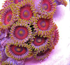 Image detail for -Zoanthids : LA Reefs - Specializing in Live Coral, Macroalgae, and ...