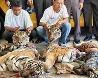 Save the Critically Endangered Indochinese Tiger | These Beautiful Tigers are being slaughtered at a rate of 1 per week. They are already an Endangered Species and at this rate there will be none left in the wild, by 2020 if not sooner. Please SIGN and share this petition and hopefully those Governments concerned will take heed and do something about these poachers before it is too late.