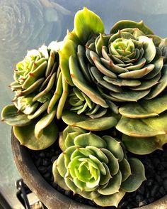 Echeveria 'funky'  #echeveria #cactus #cactuslove #succulent #succulove #desert #plant #nature #leaveonlyleaves #leafandclay #jungalowstyle #succulents #flower #flowerlove #garden #plants #instagood #photoftheday #picoftheday #instalike #beautiful #green #cactusrepost #bestoftheday #cactusmovement #cactusclub #cacti #suckerforsucculents #love