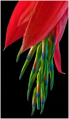 """'Billbergia nutans' gets one of its common names, 'Queen's Tears', from the drops of nectar that ""weep"" from the flowers when the plant is moved or touched."" It is also known as the 'Friendship Plant' & is native to Brazil's rainforest; also found in Argentina and Uruguay."