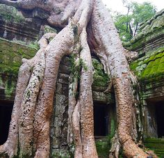 Thanks to Toom Raider this is perhaps one of the most iconic trees in the world. #Cambodia really is a country full of adventure and it seemed fitting to post this pic at the start of the week with the hope that your week is full of fun and adventure.  Why not tag the person you want to have an adventure with?  ____________________________________________ #DH #HashTags #amazing #beautiful #beauty #flowers #green #love #instafir #instalove #instamagic #instashot #instasky #instawood #light…