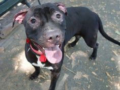 Manhattan Center -P  My name is SHEBA. My Animal ID # is A1007891. I am a female black and white pit bull mix. The shelter thinks I am about 1 YEAR 2 MONTHS old.  I came in the shelter as a OWNER SUR on 07/24/2014 from NY 10458, owner surrender reason stated was COST.  Killed.