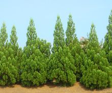 Cryptomeria japonica 'Radicans' is a robust, fast-growing selection of Japanese cedar with columnar to pyramidal growth habit. Fast Growing Evergreens, Fast Growing Trees, Evergreen Trees For Sale, Privacy Trees, Trees And Shrubs, Drought Tolerant, Hedges, The Fresh, Landscape Design