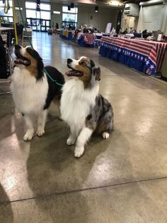 These are two Australian shepherds who honestly should do some modeling on the side if they don't already. Australian Shepherd Puppies, Aussie Puppies, Black Lab Puppies, Australian Cattle Dog, Australian Shepherds, Corgi Puppies, Black Russian Terrier, Doug The Pug, American Cocker Spaniel