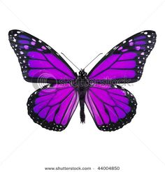 Google Image Result for http://image.shutterstock.com/display_pic_with_logo/350248/350248,1262908317,1/stock-photo-purple-butterfly-isolated-on-white-background-44004850.jpg