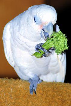 Goffins kaketoe Parrot, Parrot Bird, Parrots