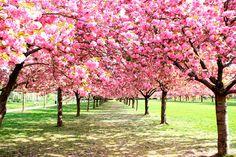 🌸😍 Que o seu domingo seja tão lindo quanto às Cerasus, ou melhor: cerejeiras. Esta nomenclatura comporta diversas espécies de árvores de origem asiática, tanto as frutíferas quanto as produtoras de madeira nobre.😍🌸        Quem mais queria ter estas belas flores colorindo o jardim? 🙋