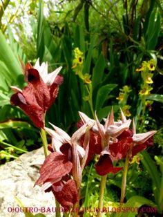 """Orquídea selvagem do Algarve no jardim da """"Casa Catita"""""""