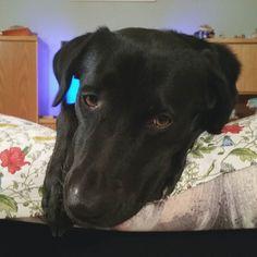 """Dovete sapere che Snoopy si esercita davanti allo specchio due o tre volte al giorno per migliorare la sua faccia da elemosina. In questa foto una delle sue migliori espressioni : """"non mi nutri da due giorni chiamo l'Enpa se non mi dai due biscottini"""". Foto di: @rcfoto #BauSocial  #cane #milano #dog #blacklab #instadog #labrador #blackdog #love #retriever #bracco #segugio #dogstagram #doglovers #dogofinstagram #dogoftheday #friends #face #aww #feedme #mercy #hofame #italia #milan #perro #inu"""