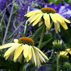 Echinacea 'Sunrise', Coneflower 'Sunrise', Echinacea 'Big Sky Sunrise', Echinacea 'Big Sky Series, Yellow Coneflowers, Drought tolerant perennials, Cone flowers, Coneflowers